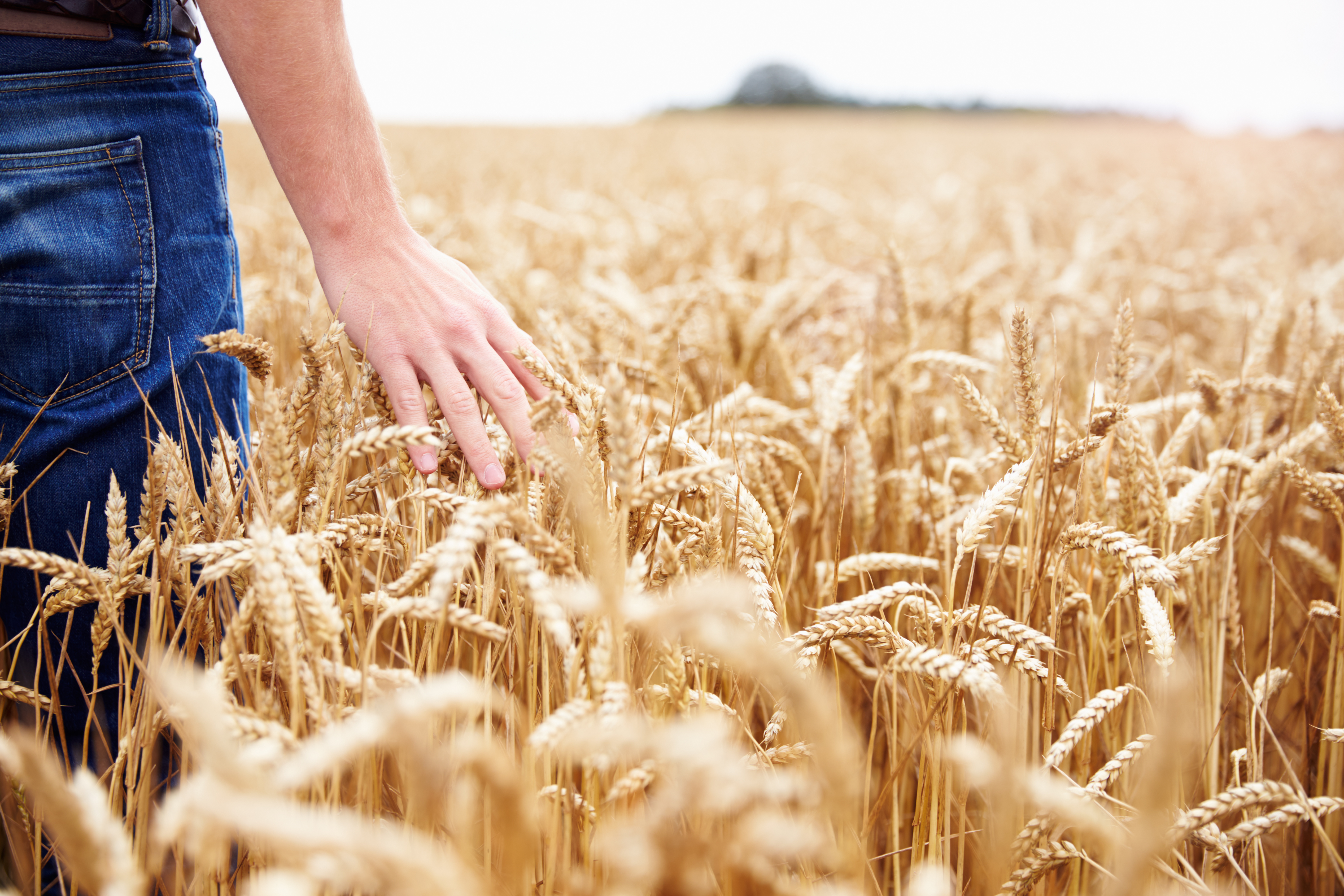hand grazing wheat field